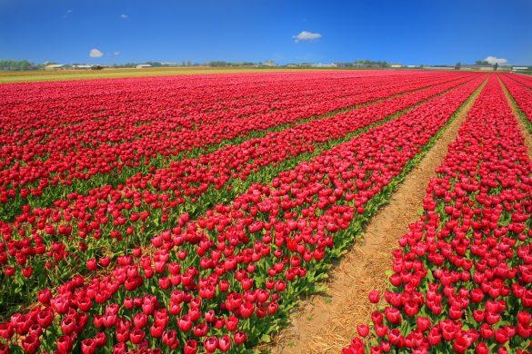 holanda-tulip