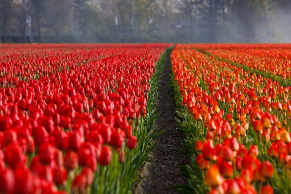 tulips-21690_1280-2